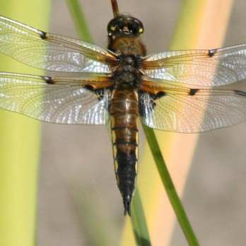 Four-spotted Chaser dragonfly by George Cheyne